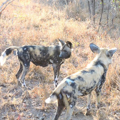Photo of African wild dogs