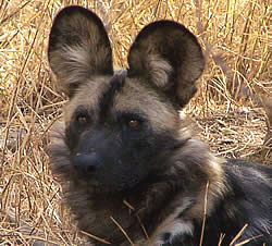 African Hunting Dog or Wild Dog
